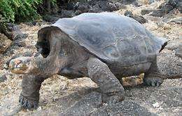 Genetic Analysis Gives Hope That Extinct Tortoise Species May Live Again