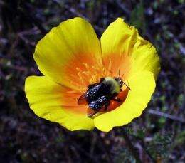 Group seeks endangered listing for bumblebee (AP)