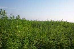 Hemp produces viable biodiesel, study finds