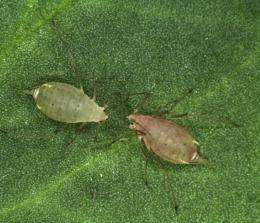 Color-changing bacterium inside the pea aphid