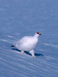 High Arctic avian athlete gives lessons about animal welfare