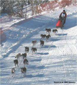 How do you make the perfect sled dog?