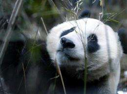 Hua Mei gave birth to her eighth cub