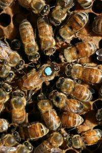 Insulin signaling key to caste development in bees