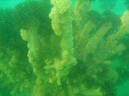 Invasive 'tunicate' appears in Oregon's coastal waters