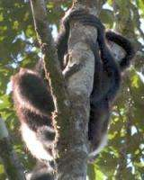 A rainforest revelation: Lemurs of Madagascar offer clues to global-warming impact