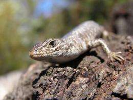 Lizard sex linked to climate
