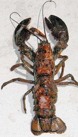 Lobster dieoffs linked to chemicals in plastics
