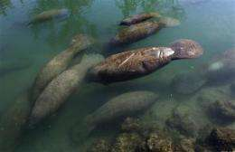 Manatees paddle to warm water to escape Fla. chill (AP)