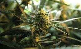 Medical marijuana to be OK in some VA clinics (AP)