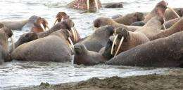 Melting sea ice forces walruses ashore in Alaska (AP)