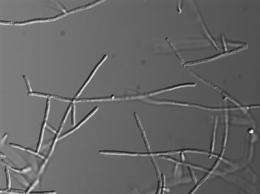 Microbiologists find source of fungus's damaging growth