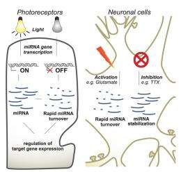 MicroRNA expression and turnover are regulated by neural activity in the retina and brain