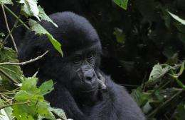 Mountain gorillas have fallen prey to conflict and poaching over the years and remain an endangered animal