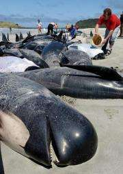Nearly 60 pilot whales have died after becoming stranded on a beach in the far north of New Zealand