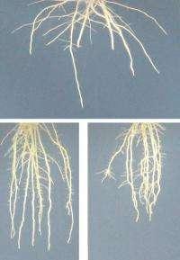 New software quantifies leaf venation networks, enables plant biology advances