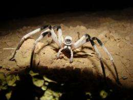 New spider species discovered by University of Haifa scientists