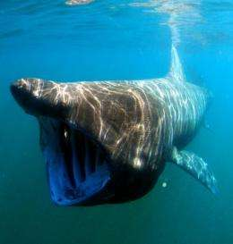 NOAA designates the eastern North Pacific basking shark a 'species of concern'