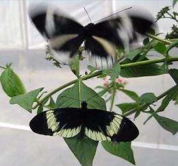 Observing a split in the butterfly family tree