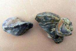 Oldest species of a marine mollusc discovered