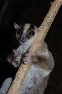 New lemur: big feet, long tongue and the size of squirrel