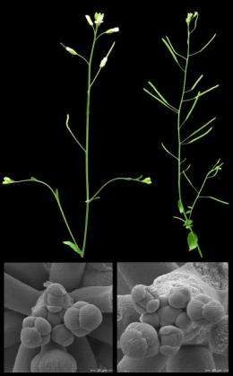Plant growth hormones: Antagonists cooperate