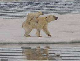 Polar bears 'spotted swimming with cubs on back'