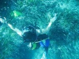 Posidonia meadows reflect pollution levels in the Mediterranean