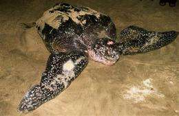 Rare leatherback turtle spotted in Indonesia (AP)