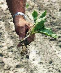 Research develops simple 'recipe' for fungus-free horseradish