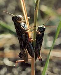 Research offers important clues about grasshopper population explosions