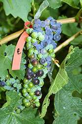 Ripe time for wine grapes