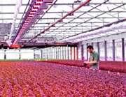Saving greenhouse power with LED light