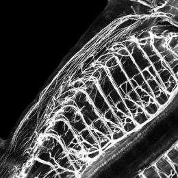 Single gene regulates motor neurons in spinal cord