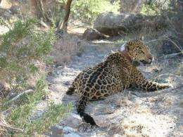 So. Ariz. man pleads guilty in jaguar's death (AP)