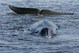 Stranded Danish whale dies (AP)