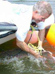 Study provides data that can inform Atlantic sturgeon recovery efforts