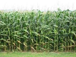 Study targets disease resistance in corn
