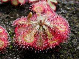 Sundews just want to be loved