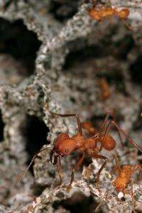 Texas-bound: Fungus keeps Texas leaf-cutter ants from spreading
