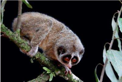 The Horton Plains slender loris has only been spotted four times since it was discovered in 1937