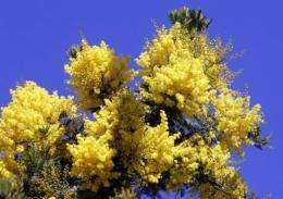 The Mimosa shrub's leaves can retract at the slightest of touches