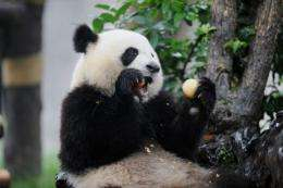 There are only about 1,590 pandas left in the wild in China