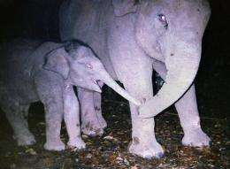 There are up to 3,350 Sumatran elephants remaining in the wild, according to the environmental group WWF.