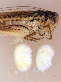 The tuberous bushcricket has testes that amount to 13.8 percent of its body mass