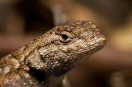 Tick population plummets in absence of lizard hosts