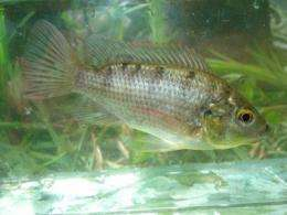 Tilapia feed on Fiji's native fish