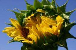 Traces of early Native Americans -- in sunflower genes