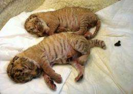 "Two baby ""ligers"", hybrids of lions and tigresses, born at a private zoo in Taiwan"