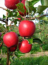 Two new apples released for state growers only